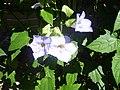 Flowers of Cuba 03.JPG