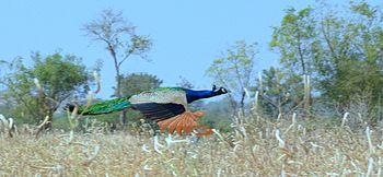 Flying Peacock beauty.jpg