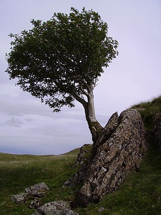 Celtic Britons - A flying rowan tree, considered magical by the ancient Britons
