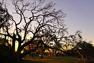 Fontainebleau State Park - Live oak tree draped with Spanish moss