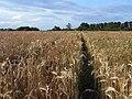 Footpath through barley, Goring Heath - geograph.org.uk - 1595617.jpg