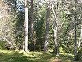 Forest near Amat Lodge - geograph.org.uk - 797169.jpg