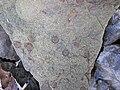 Fossiliferous sandstone (Byer Sandstone, Lower Mississippian; Dugway Outcrop, Newark, Ohio, USA) 6 (31953357303).jpg