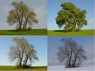 Populus - A Populus on a hill through April, September, October, February (Germany)