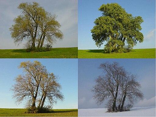 Four Poplars in four seasons