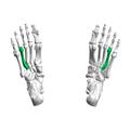 Fourth metatarsal bone04 inferior view.png