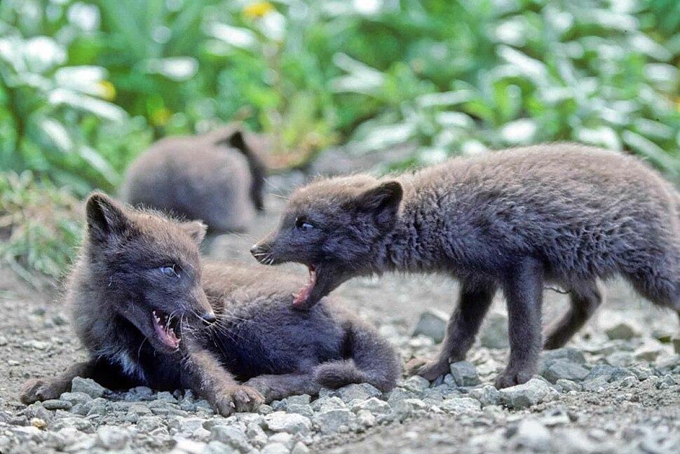 Fox pups animals