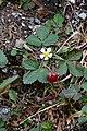 Fragaria vesca (Rosaceae) (33002491140).jpg