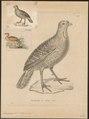 Francolinus ponticerianus - 1700-1880 - Print - Iconographia Zoologica - Special Collections University of Amsterdam - UBA01 IZ17100079.tif