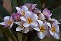 Frangipani flowers (5114501552).jpg