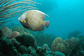 French Angelfish with dive boat in background, Bonaire, Dutch Antilles.jpg
