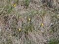 Fritillaria pudica habit (3434290351).jpg