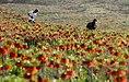 Fritillaria valley, Golestan Kuh, Khvansar County (13910224192014295).jpg