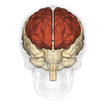 Frontal lobe - anterior view.png
