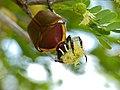 Fruit Chafer (Dischista rufa) feeding on acacia flower (11965811565).jpg