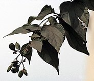 Fruit and leaves of the Parijat plant (Nyctanthes arbor-tristis), Kolkata, India - 20070130