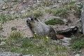GNP - Marmot.jpg