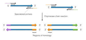 Synthetic genomics - Gap Repair Cloning. The blue arrows represent DNA contigs. Segments of the same colour represent complimentary or identical sequences. Specialized primers with extensions are used in a polymerase chain reaction to generate regions of homology at the terminal ends of the DNA contigs.