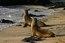 Galápagos sea lions Isabela.jpg