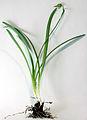 Galanthus nivalis mit Kapsel 01.jpg