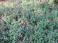 Gardenology.org-IMG 2036 hunt09oct.jpg