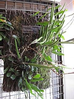 <i>Dendrobium schoeninum</i>