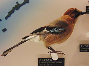 Eurasian jay - Garrulus glandarius brandtii