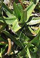 Gasteria acinacifolia clump acilliers South Africa 2.jpg