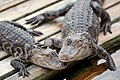 Gators (4670299036).jpg
