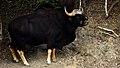 Gaur bull, Bos gaurus in Kaeng Krachan national park (25076451099).jpg