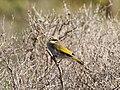 Gavicalis virescens (43751562015).jpg