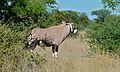 Gemsbock (Oryx gazella) (6600935611).jpg