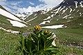 Gentiana punctata-3064 - Flickr - Ragnhild & Neil Crawford.jpg