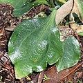 Gentiana sikokiana (leaf s5).jpg