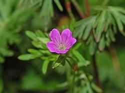 Geraniaceae - Geranium columbinum-1.JPG