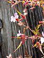 Geranium robertianum s. str. sl3.jpg