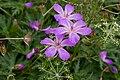 Geranium yesoense var. nipponicum 09.jpg