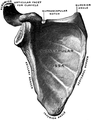 Gerrish's Text-book of Anatomy (1902) - Fig. 160.png