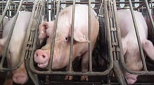 Gestation crate - A sow will stay in a gestation crate for the four-month period of her pregnancy.