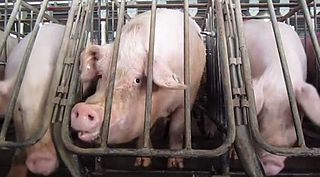 Intensive pig farming modern large-scale farming of domestic pigs