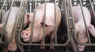 Farmageddon (book) - A sow will often stay in a gestation crate for the four-month period of her pregnancy.