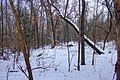Gfp-wisconsin-madison-the-snowy-forest.jpg
