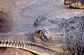 Gharial (Gavialis gangeticus) close-up (19812075149).jpg