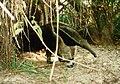 Giant Anteater (11799275).jpg