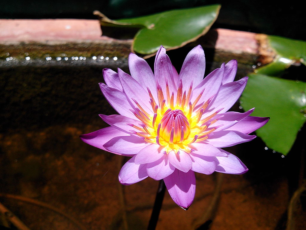 Filegiant water lily sprouting a flowerg wikimedia commons other resolutions 320 240 pixels 640 480 pixels izmirmasajfo