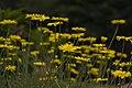 Giardino Botanico Oropa - Anthemis Tinctoria.jpg