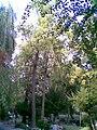 Ginkgo biloba din parcul Cismigiu Bucuresti.jpg