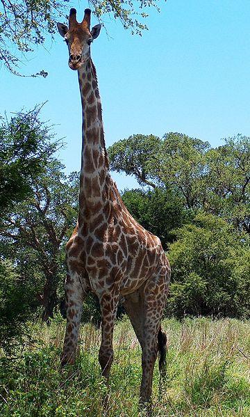 File:Giraffa camelopardalis.JPG