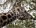 Giraffe head 1 (4510557308).jpg