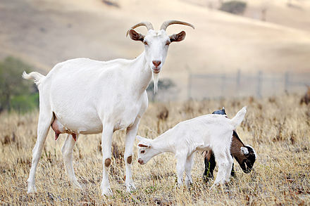 Goat family with 1-week-old kid Goat family.jpg